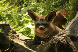 The bat-eared fox by DarkTara