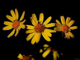 Yellow daisy wild flower by MacroMagnificent