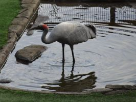 Brolga 02 by lizardman22