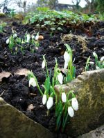 The Snowdrops by vifetoile