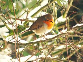 robin red breast by AngelsSunset