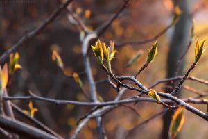 New leaves at sunset by rosaarvensis