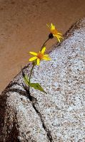 rock flower? by ShAzAnAzAmAn