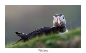 Puffin by FreyaPhotos