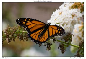 monarch butterfly in the rain by yellowcaseartist