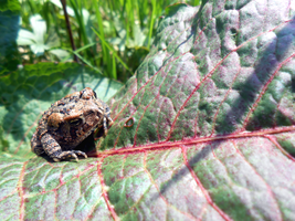 Baby Toad on a Leaf by StripedDemon