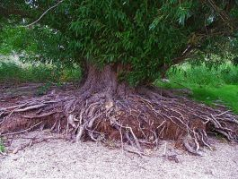 old roots by Marcusstratus