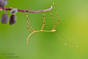 Stick insect by ColinHuttonPhoto