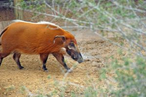 Red River Hog by MorrighanGW