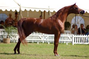 TW Arab Chestnut show pose side view by Chunga-Stock