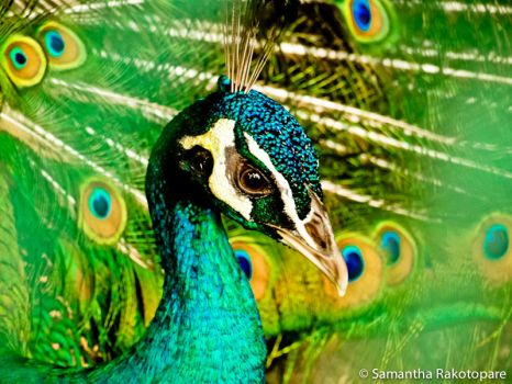 Peacock by kitty974