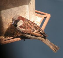 House Sparrow by JocelyneR