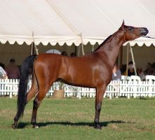 TW Arab Bay show pose by Chunga-Stock