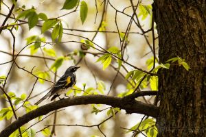 Yellow-Rumped Warbler by shaguar0508