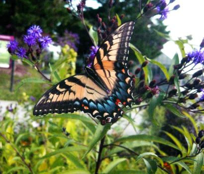Swallowtail butterfly by DanikaMilles