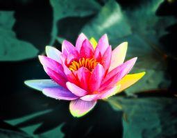 Lotus by sunny2011bj