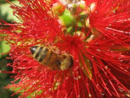 131 Bee in a Bottlebrush flower by crazygardener