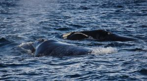Southern Right whales by Oracle88