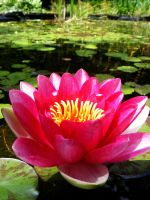 water lily by ToryHartley