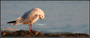 gull at sunset by moem-photography