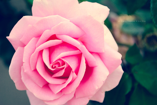 Soft Rose by Ana-D