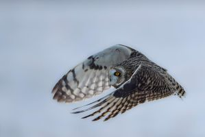 Short eared owl - Graceful by JestePhotography