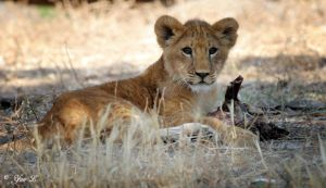 lion cub 2 by Yair-Leibovich