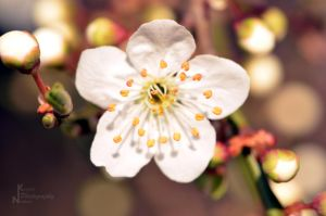 Rosaceae by NK--Photography