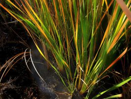 Reeds by creativemikey