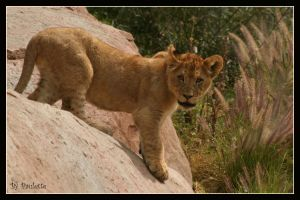 Lion Cub by shutterbugmom