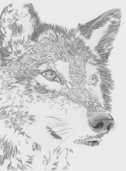 Wolf by Lasconi