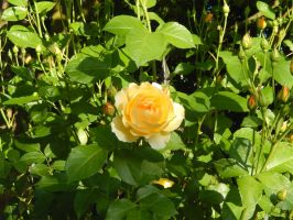 Yellow Rose by Chiller252