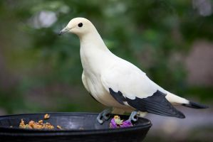 Pied Imperial Pigeon by secondclaw