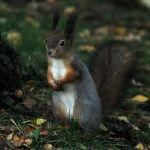 Lesser squirrel picture 5 by TomiTapio