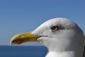 portrait of a seagull by mossyfrog
