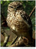 Small Owl BIG Attitude by In-the-picture