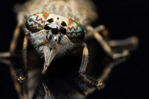 Common Horse Fly (frontal view) by FreezingGlare