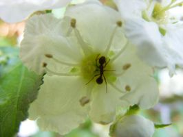 Ant in a Flower... by Redcorp
