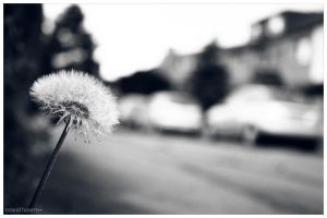 the puff flower by BlackVisionary