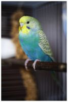 Coca the budgie by couinette