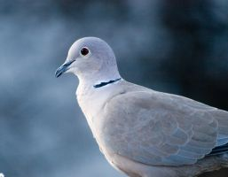 dove1 by Bodghia