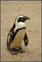 African Penguin by realny