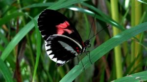 Black and Red Butterfly by gdsbngd2me