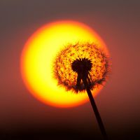 Dandelion at sunset by JS2010