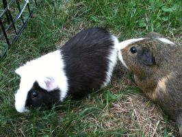 Guinea Pig by Avon-Stock