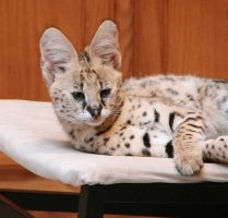 Serval baby 3 by Angelos-Griever