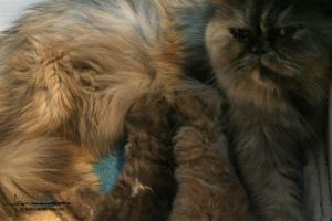 Cute Persians Cattery - Pround mother by ForeignFrontierRanch