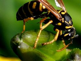 Wasp 5-Yellowjacket by DWALKER1047