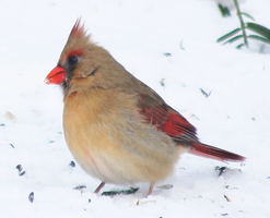 Northern Cardinal-Female - 02.26.14 by BirdyLee