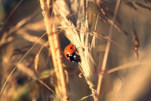 ladybug in the fields of corn by nbd12